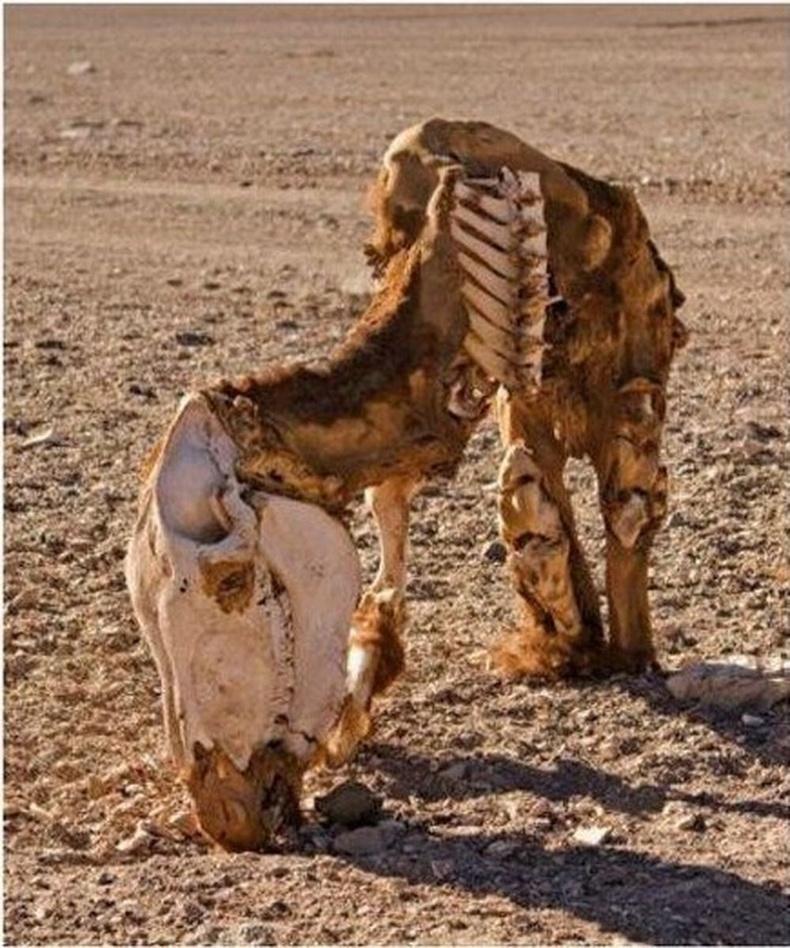 Намибын цөлийн хэт халуунд ангаж үхсэн тэмээ