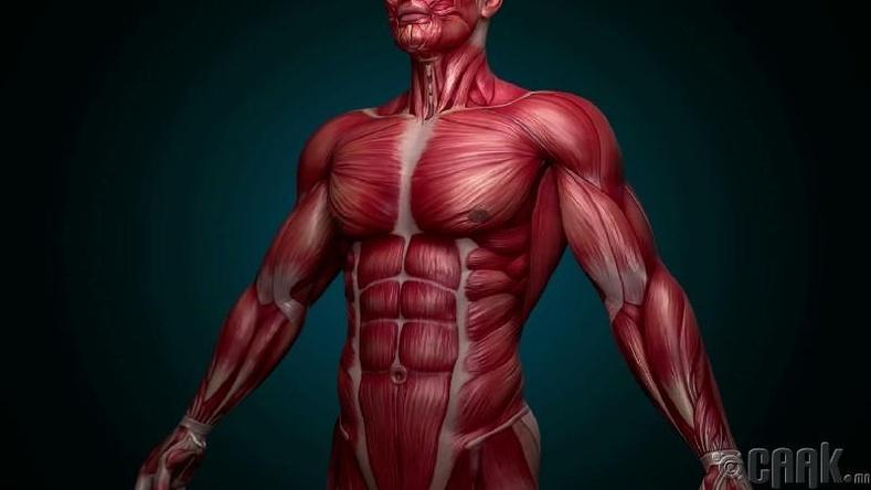 Бидний бие хэдэн булчингаас тогтдог вэ?