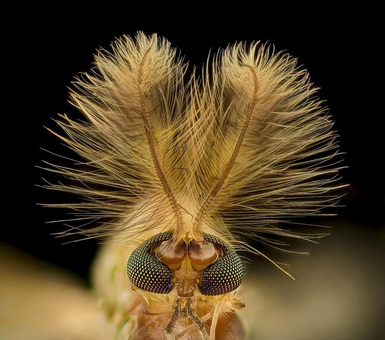 Дэлэнч, (Chironomidae diptera) 9 дахин томруулсан