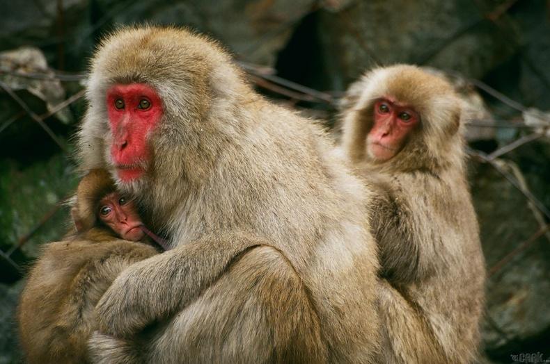Макака сармагчин