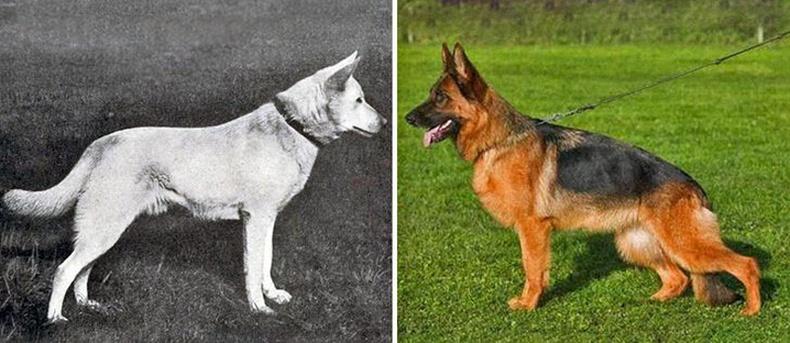 Немц овчарк  (German Shepherd)