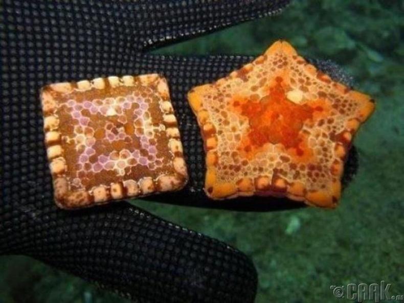 Зарим далайн од дөрвөлжин хэлбэртэй байдаг