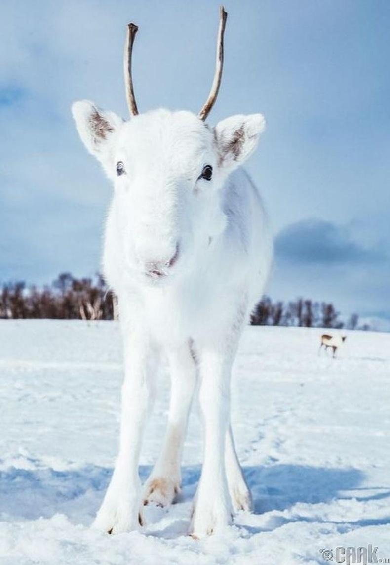 Норвеги улсад амьдардаг цагаан өнгөтэй цаа буга
