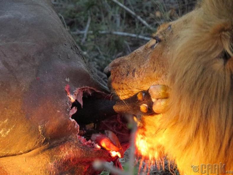 Хээлтэй одос үхрийг идэж буй арслан