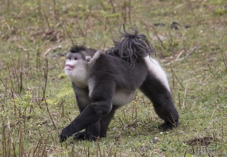 Хималайд амьдардаг сартгар хамарт сармагчин