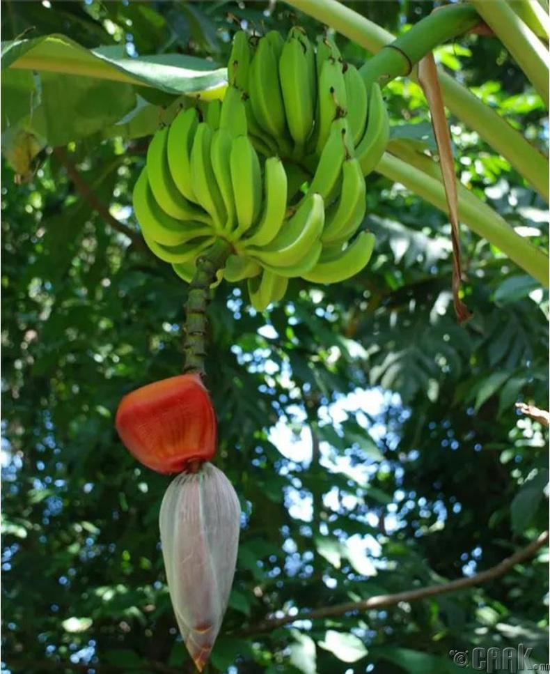 Гадил нь өндөр ургамал дээр (мод биш) багцаараа ургадаг