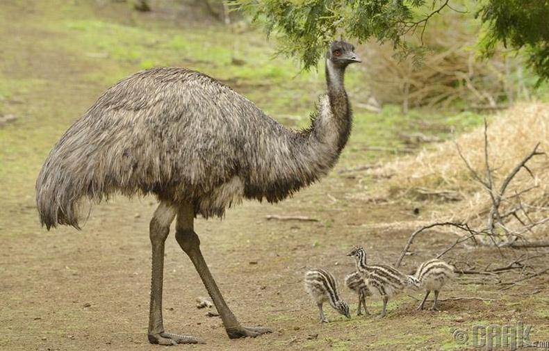 Австрали фермерүүд 1932 оноос Эму шувуутай тэмцэж эхэлжээ