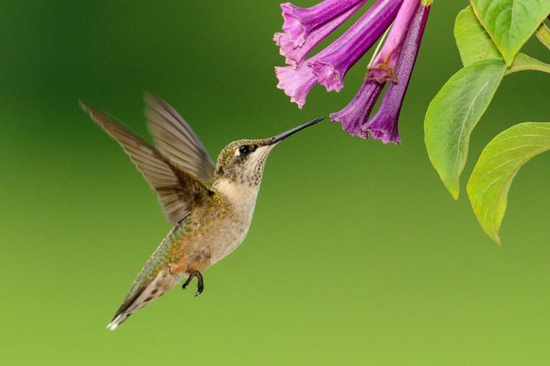 Балч шувуу нь ухарч нисч чаддаг цорын ганц шувуу