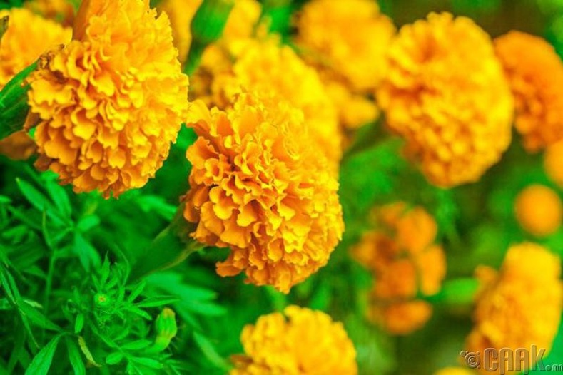 Хилэн цэцэг