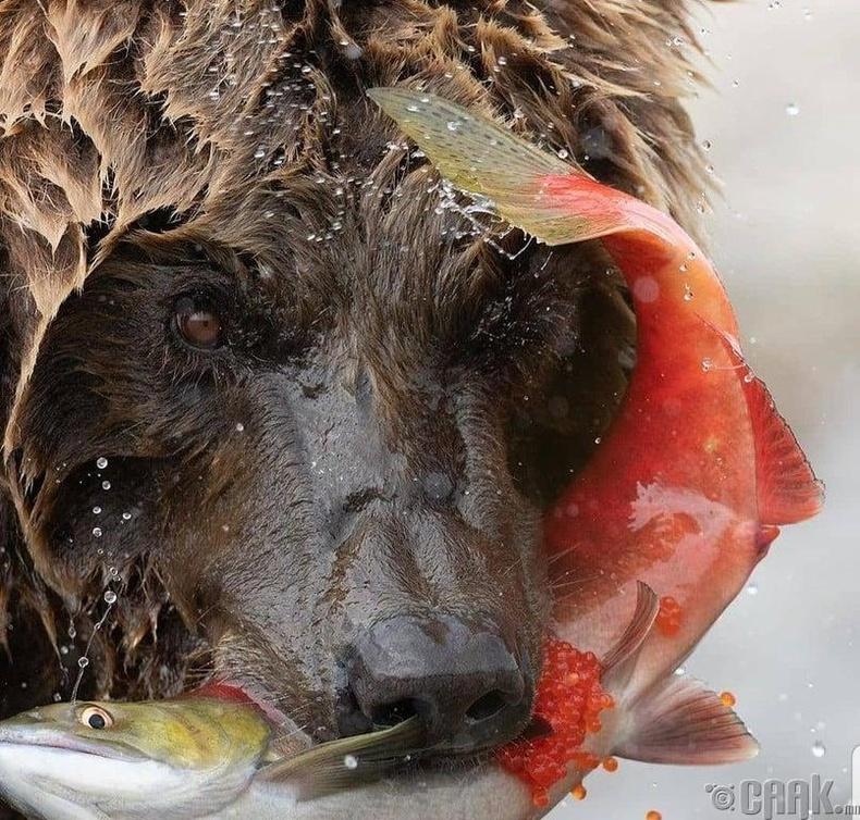 Салмон загасаар хооллож буй баавгай