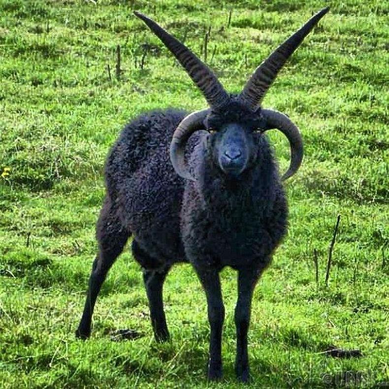 Дөрвөн эвэртэй хонь