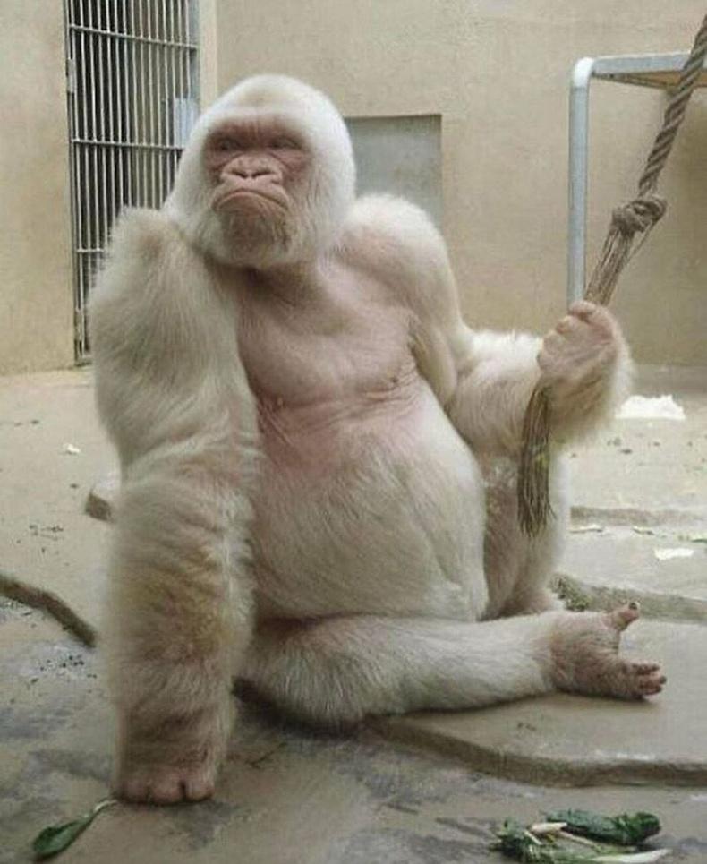 Цагаан горилла