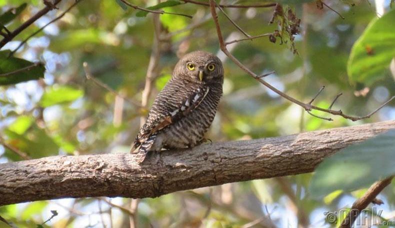 Балба улс нь жигүүртэн шувуудын эх орон
