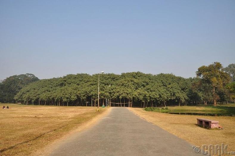 Энэтхэгт нэг хайпермаркетын талбайн хэмжээтэй мод ургадаг