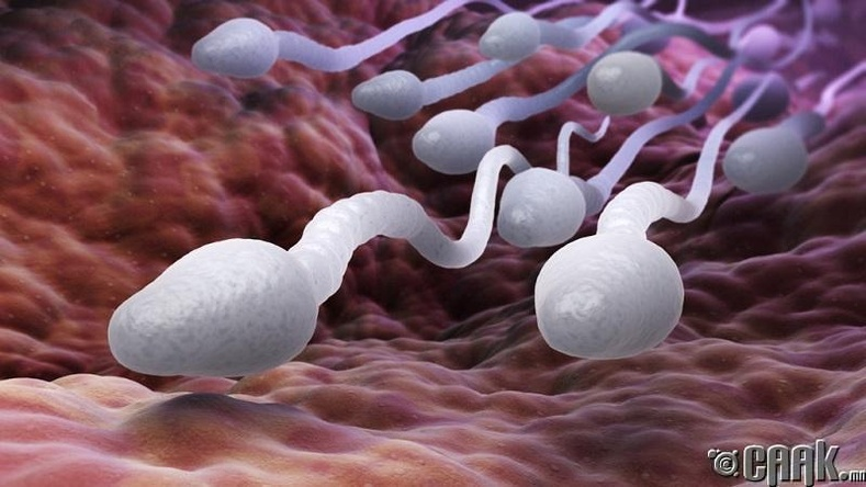 Бүдүүн хоолойтой эрчүүд цөөн тооны спермтэй байдаг
