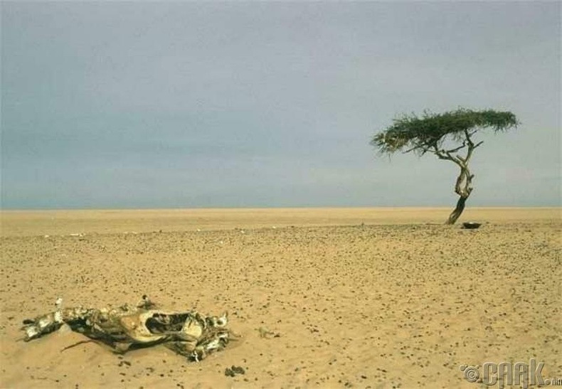 """Хамгийн """"өнчин"""" мод Нигер улсад байсан"""
