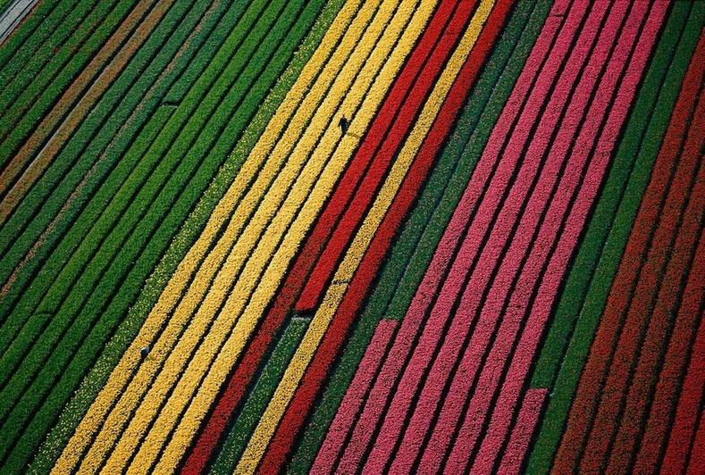 Лиссегийн ойролцоох алтанзул цэцгийн талбай - Нидерланд