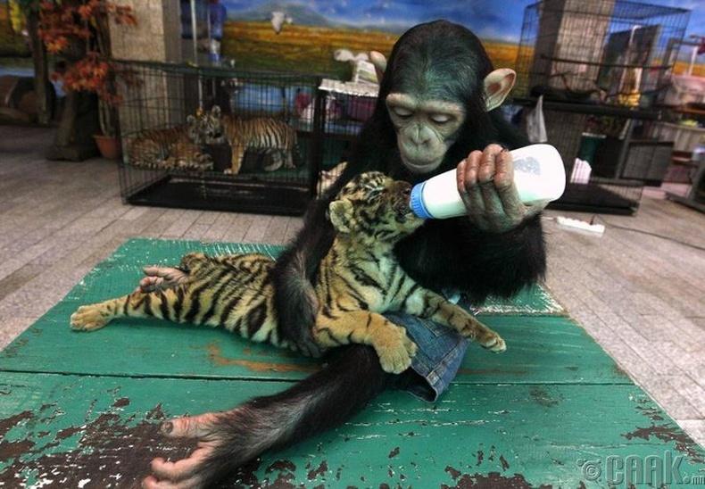 Додо сармагчин ба Аорн бамбар