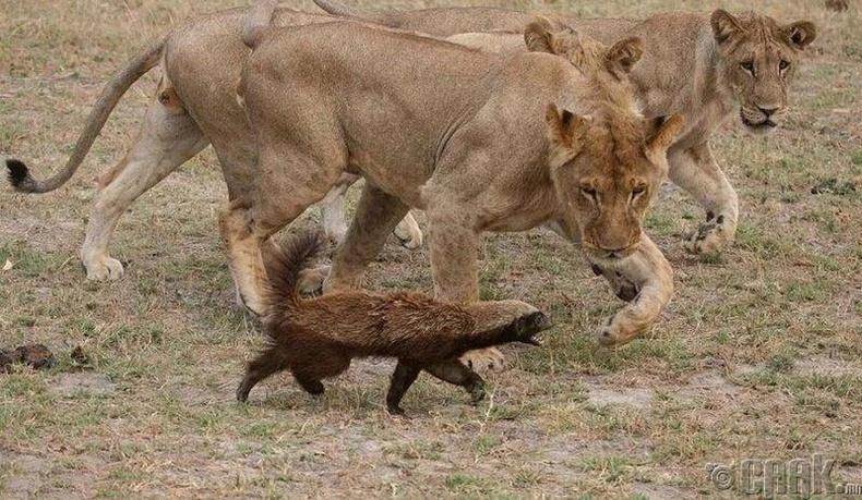 Дорго бол ялагдашгүй амьтан