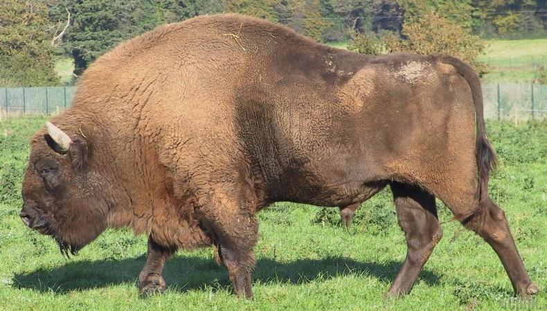 Европын бух гөрөөс (Зубр)