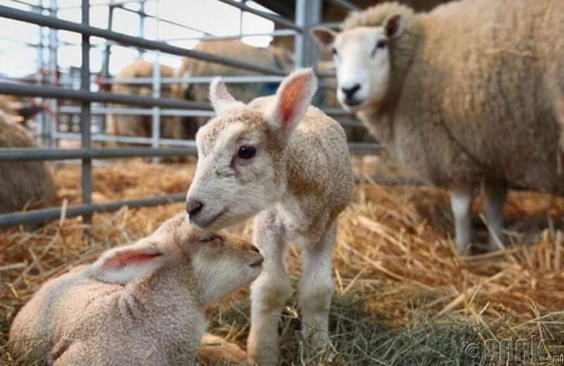 Туулайн хэвлий дэх хонь
