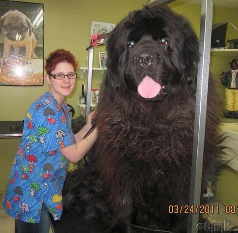 Баавгай шиг том нохой