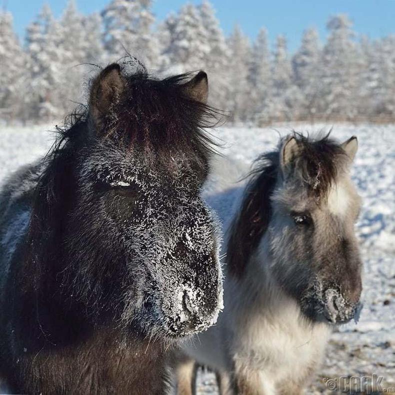 Хойд нутгийн морьдын амьдрал