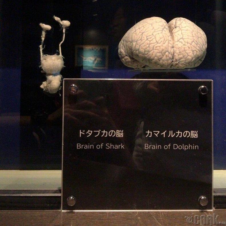 Аварга загасны болон далайн гахайн тархи