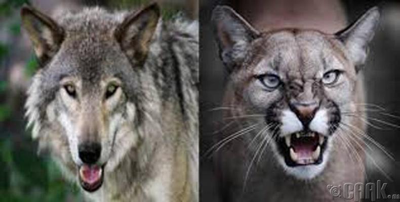 Саарал чоно - Пума