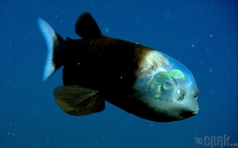 Толгой нь нэвт харагддаг загас