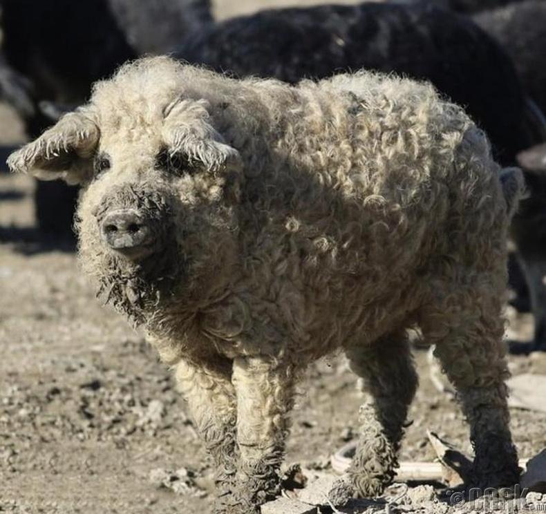Ноостой үүлдрийн энэхүү гахай нь хонь шиг харагддаг ч нохой шиг аашилдаг