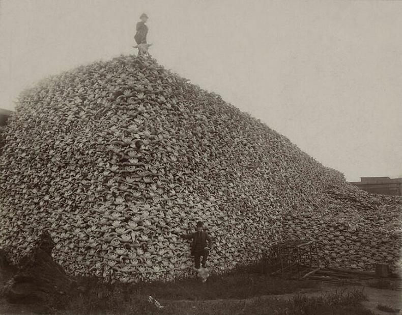 Америкийн бух гөрөөс буюу бизоныг ингэж ихээр хядаж байжээ