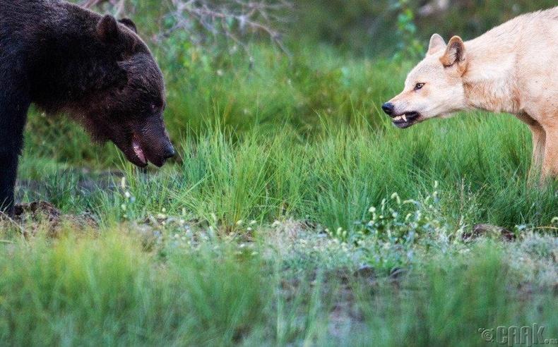 Чоно, баавгай хоёрын тулгаралт - Аляска