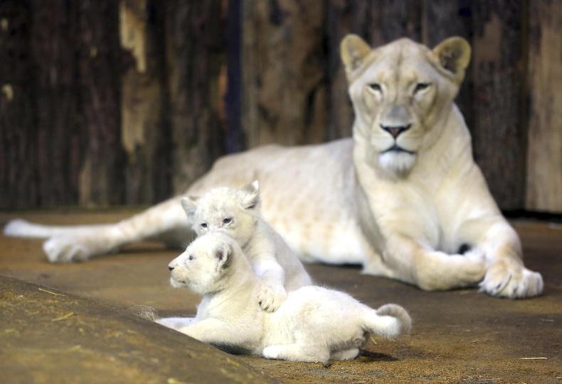 138 мянган ам долларын үнэтэй цагаан арслангийн гүег