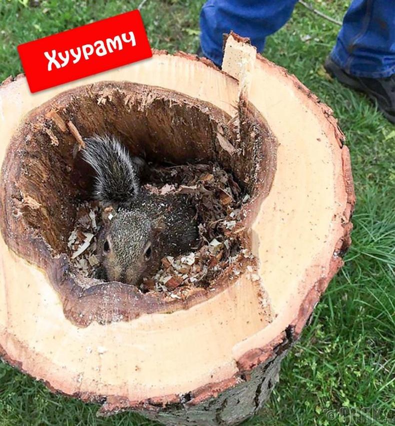 Хөөрхий хэрмийн гэр орныг булааснаас болж модны хожууланд үүрээ засжээ.