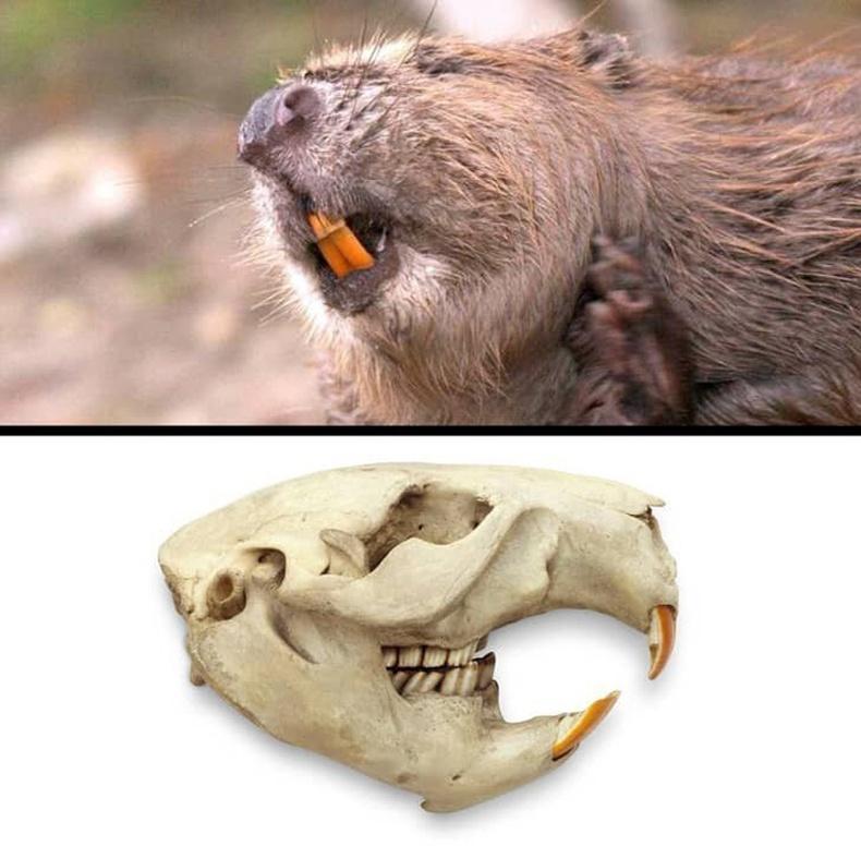 Минжний үүдэн шүд төмөр ихээр агуулдаг учир улбар шар өнгөтэй байдаг