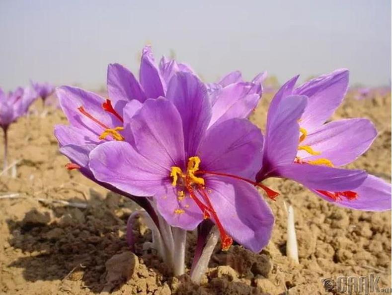 Энэ цэцгийн цоморлиг доторх улбар шар өнгийн дохиураас гүргэмийг гаргаж авдаг