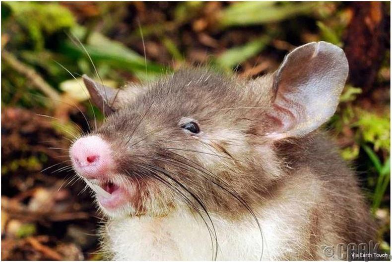 Гахайны хамартай, цус сорогч шиг шүдтэй хулгана