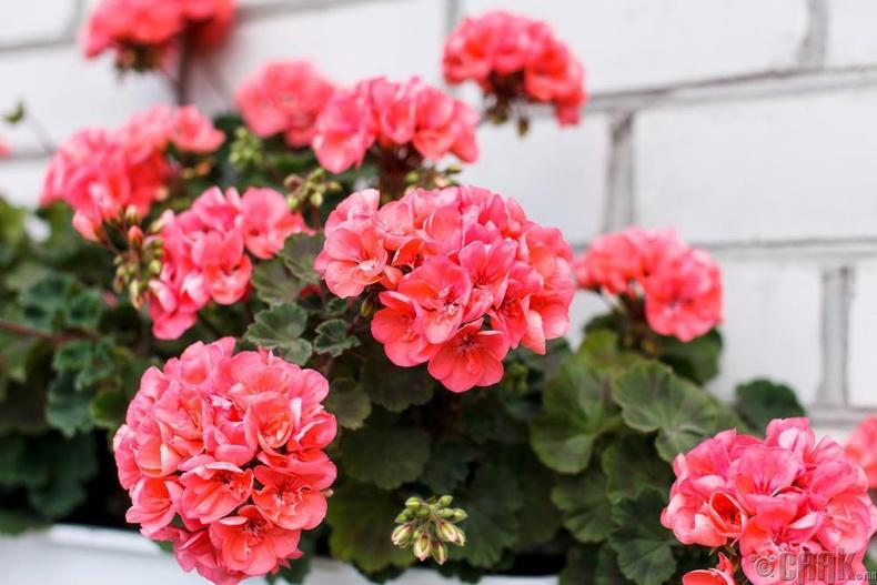 "Тарлан цэцэг - ""Pelargonium"""