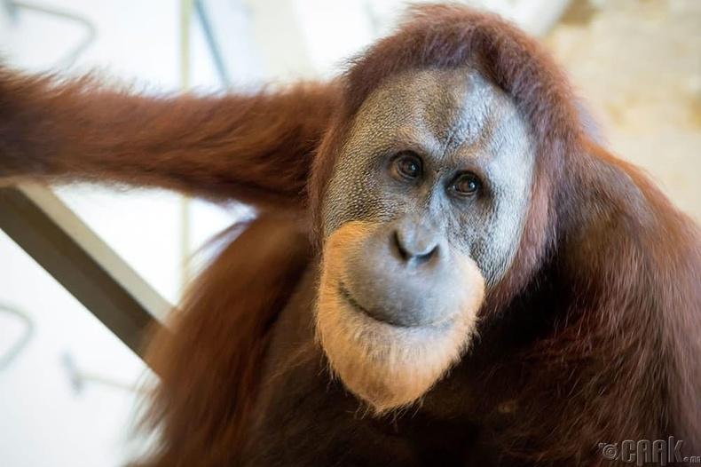 Орангутан сармагчны шээсийг цуглуулагч