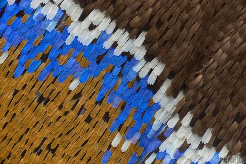 Эрвээхийн далавч - Даниел Хан, Австрали