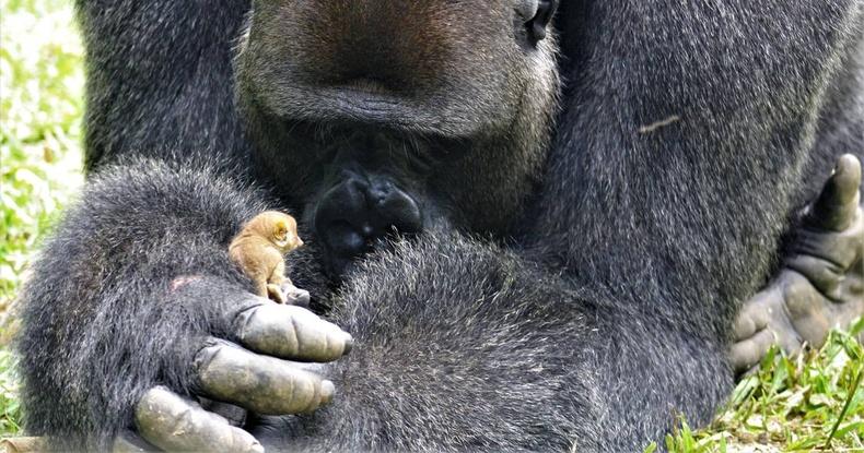 """Бяцхан сармагчинг """"тэжээх"""" болсон горилл бич"""