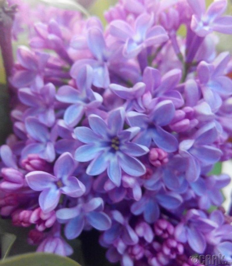 9 дэлбээтэй голт бор цэцэг