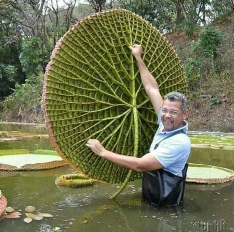 Дэлхийн хамгийн том Лянхуа цэцэг