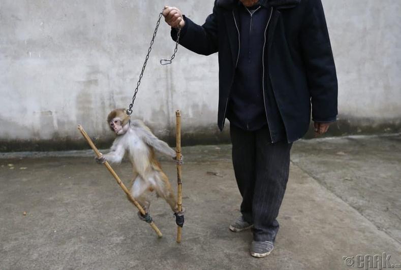 Зогсож сурч байгаа сармагчин