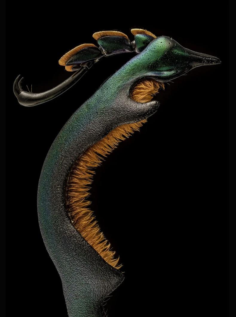 Эрэгчин цохны (Sagra buqueti) хойд хөл, 4 дахин томруулсан