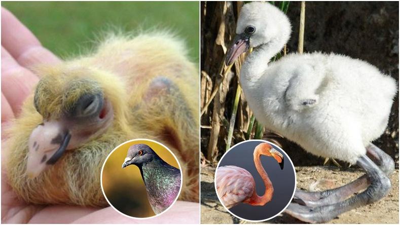 Бидний сайн мэдэх шувуудын дэгдээхий байх үеийн төрх