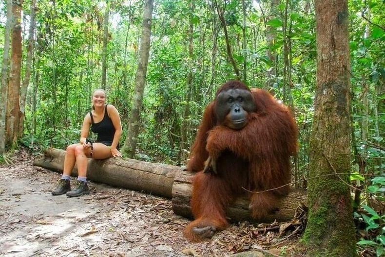 Орангутан бич ийм том байдаг