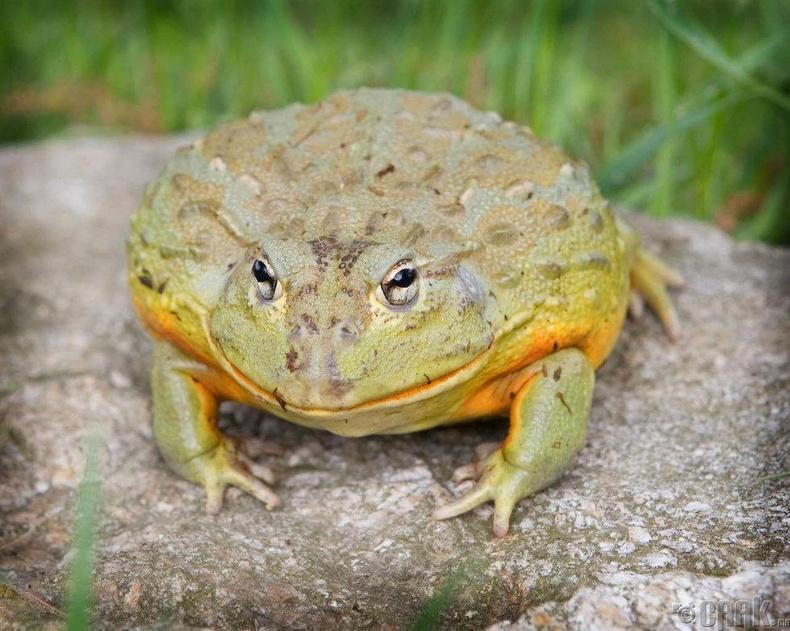 Намибийн аварга үхэр мэлхий (Giant Namibian Bullfrog)