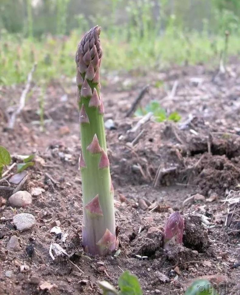 Аспарагус /хэрээний нүд/ нь газраас эгц дээшээ ургадаг